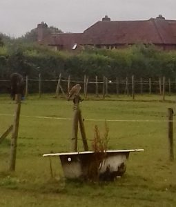 Poo picking this morning ... watched by a young Sparrowhawk